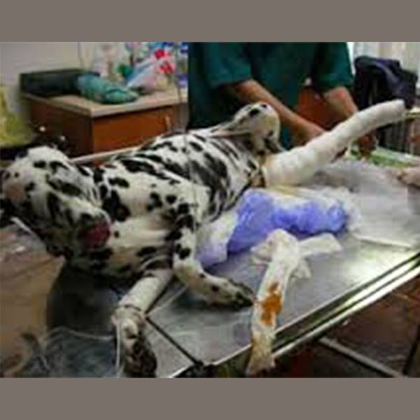 جراحی ترمیم شکستگی حیوانات